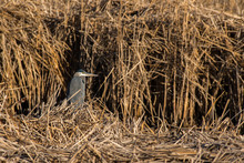 A Great Blue Heron In A Cattail Marsh
