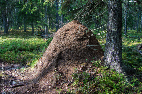 Photo A huge anthill in Lapland, Finland