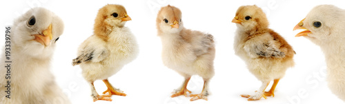 Fényképezés Collection cute furry chicks isolated on white