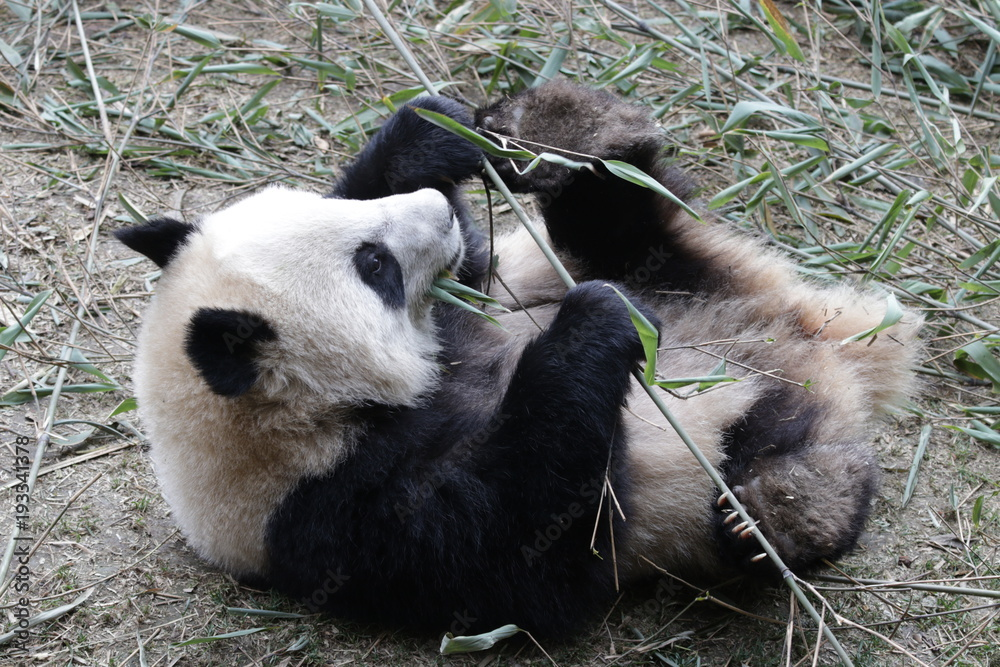 Little Panda Cub Acts Funny while Eating Bamboo, China