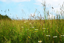 Wild Flowers Among Long Grasses In Summer