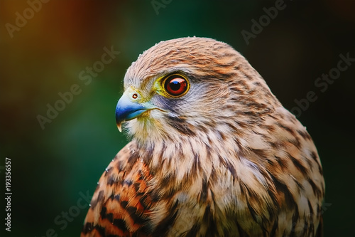 Common Kestrel (Falco Tinnunculus) Wallpaper Mural