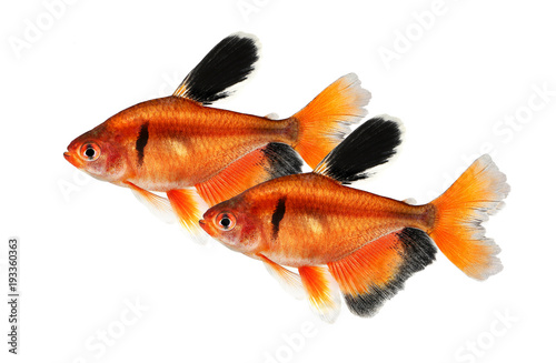 Fényképezés  Long Finned Serpae Tetra Barb Hyphessobrycon eques aquarium fish