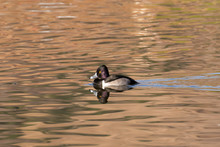 Ring Necked Duck Swimming On The Lake