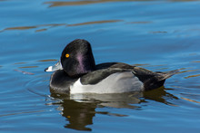 Ring Necked Duck Chillin On The Water