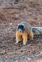 Eastern Fox Squirrel Sciurus N...