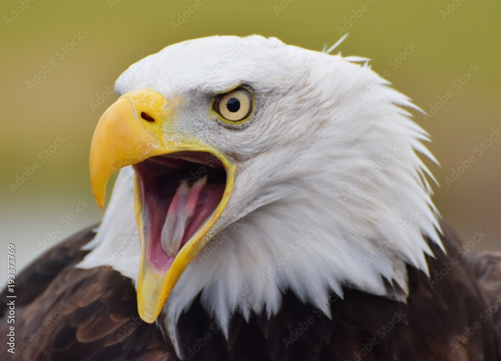 A Bald Eagle (Haliaeetus leucocephalus) screeching with a green forest background.