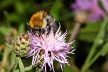 Hornet, Bee, Bumblebee Collect...