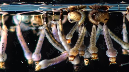 Mosquito, Larvae and Pupae in polluted water. Culex pipiens (the common house mosquito or northern house mosquito) is a species of blood-feeding mosquito of the family Culicidae - 193393758