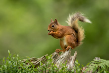 Red Squirrel Perched On A Tree...