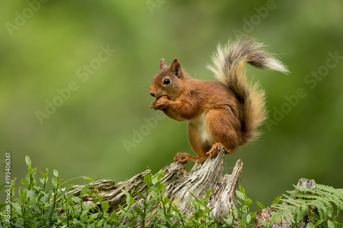 Fotobehang Eekhoorn Red squirrel perched on a tree stump eating a hazelnut with a green bcakground.