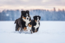 Bernese Mountain Dogs Playing In Winter