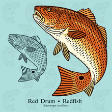 Red Drum, Redfish. Vector Illu...