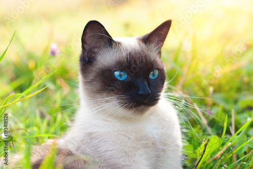 Pinturas sobre lienzo  Beautiful Siamese Purebred Cat with Blue Eyes playing in the Green Grass in Summ