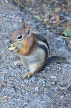 Golden Mantled Squirrel