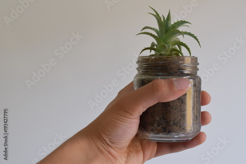 Palm tree Planta abacaxi