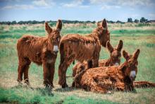 Shaggy Poitou Donkeys In A Gre...