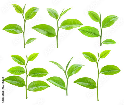 Montage in der Fensternische Kräuter Young tea leaves isolated on white background
