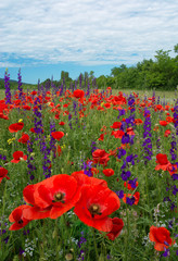 FototapetaA beautiful field of flowering poppies. red flowers, motley grass. landscape