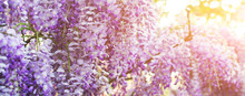 Wisteria Flowers Blossoming In...