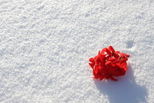 Bunch Of Red Flowers On A Fresh Snow In Sunny Late Winter Outside
