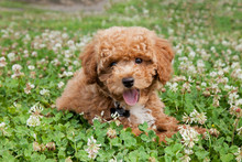 Bichon Poodle Puppy Dog