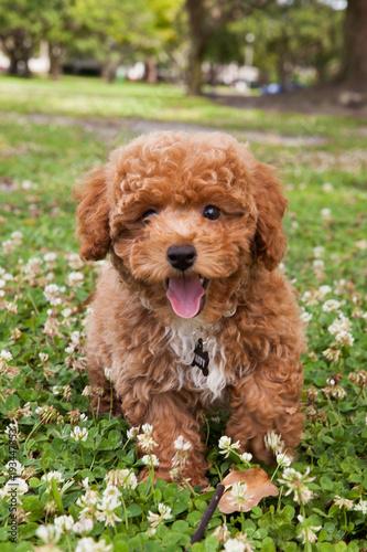 Valokuva Bichon Poodle Puppy Dog