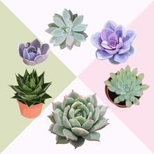Succulent Flower Plant Vector Clip Art Lovely Editable Echeveria Cactus Composition Set Of 6 Illustrations