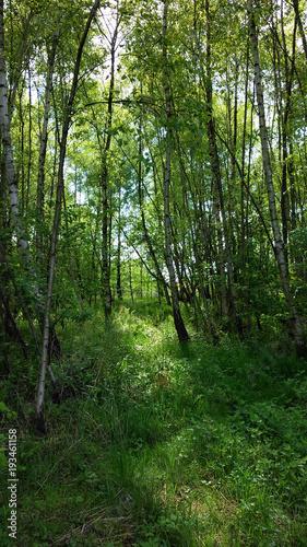 zielony zagajnik w młodym lesie wiosną w słoneczny dzień - 193461158