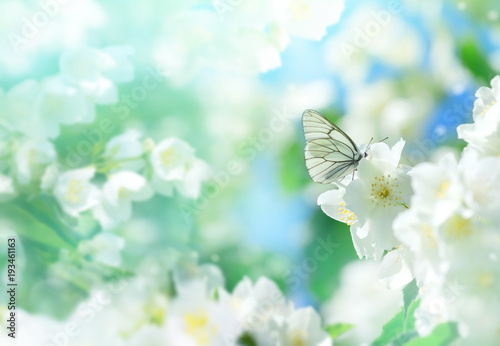Láminas  Natural background with butterfly on the branch of blooming jasmine