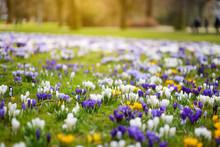 Blooming Crocus Flowers In The Park. Spring Landscape.