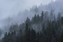 Foggy Forest Trees In The Pacific Northwest