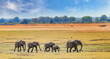 canvas print picture - African Elephants walking across the open plains in South luangwa national park, zambia, southern africa