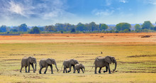 African Elephants Walking Across The Open Plains In South Luangwa National Park, Zambia, Southern Africa