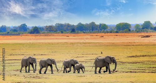 Fotografía  African Elephants walking across the open plains in South luangwa national park,