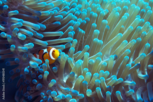 Photo  Beautiful turquoise and blue anemone with REAL nemo clownfish