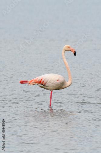 Garden Poster Flamingo Fenicottero