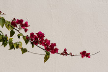 A Branch Of Bougainvillea Acro...