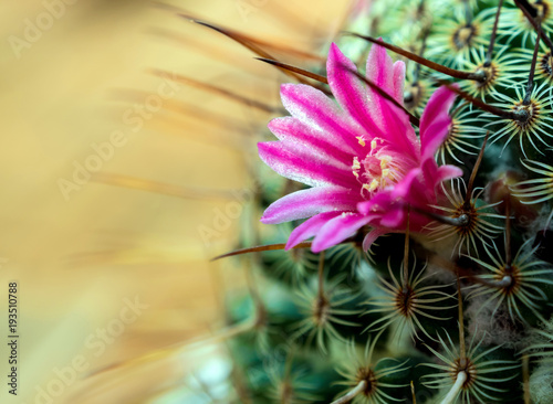 Fototapety, obrazy: Blooming cactus with beautiful pink cactus flowers
