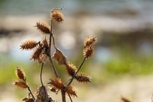 Cocklebur Weed Pland California