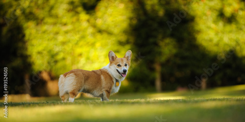 Photo Welsh Pembroke Corgi standing on park grass