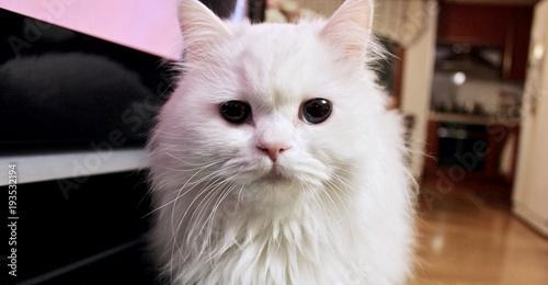 Papel de parede White Cute Cat Turkish Angora