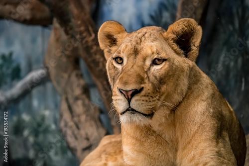Fotografie, Obraz  Lioness on the ground