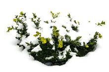 Bush Green Boxwood Under Snow