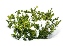Bush Green Boxwood Under Snow