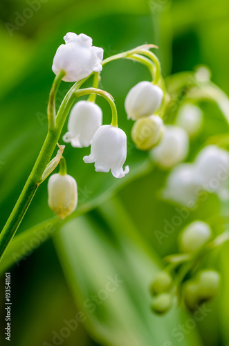 Wall Murals Lily of the valley May lilies of the valley blossom with white buds in the form of bells