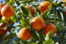 Mandarin Tree With Ripe Mandar...
