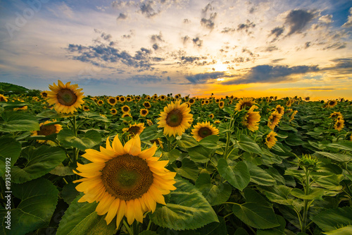 Foto op Canvas Zonnebloem Vibrant sunflower field close-up in sunset in summer