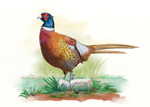 Male Pheasant, Digital Waterco...