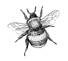 Bumblebee Insect Hand Draw Illustration